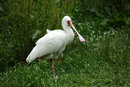African Spoonbill | 1/2000 sec | f/8.0 | 400.0 mm | ISO 1600