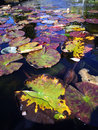 Water Lilies   1/125 sec   12.0 mm   ISO 200