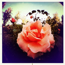 iPhone fisheye lens - rose