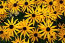 "Black Eyed Susan | 1/200 sec | f/8.0 | 30.0 mm | ISO 200 | <a target=""_blank"" href=""https://www.magezinepublishing.com/equipment/images/equipment/30mm-f14-DC-DN-C-6054/highres/sigma_30mm_f14_dc_dn_black_eyed_susan_1473233840.jpg"">High-Res</a>"
