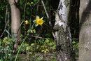 Soligor 400mm F6,3 Woodland Daffodil | 1/80 sec | 400.0 mm | ISO 400