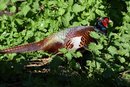 Pheasant In The Undergrowth | 1/640 sec | f/8.0 | 210.0 mm | ISO 400