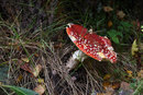 Fly Agaric At F11 | 1/5 sec | f/11 | 85.0 mm | ISO 200