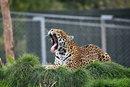 Leopard Yawning | 1/400 sec | f/5.6 | 500.0 mm | ISO 800