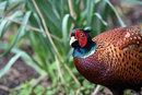 Pheasant | 1/200 sec | f/5.6 | 600.0 mm | ISO 1600