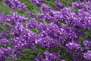Lavender   1/200 sec   f/4.5   72.0 mm   ISO 800