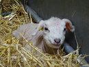 Lamb | 1/20 sec | f/5.0 | 16.2 mm | ISO 800