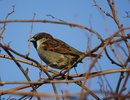 "Sparrow | <a target=""_blank"" href=""https://www.magezinepublishing.com/equipment/images/equipment/EOS1D-Mark-II-1276/highres/phpzI7udE_1423598498.jpg"">High-Res</a>"