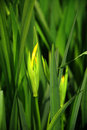 Budding Iris | 1/1000 sec | f/5.6 | 105.0 mm | ISO 400