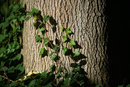 Ivy On Tree | 1/1600 sec | f/8.0 | 400.0 mm | ISO 400