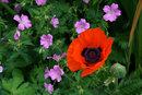 Close Up Poppy | 1/125 sec | f/8.0 | 70.0 mm | ISO 200
