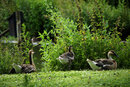 Resting Geese | 1/800 sec | f/5.6 | 300.0 mm | ISO 400