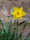 Daffodil 2 | 1/100 sec | f/2.4 | 4.3 mm | ISO 64