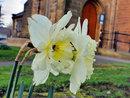 Daffodils |