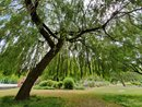 Willow Tree UWA   1/166 sec   f/2.2   1.8 mm   ISO 50
