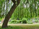 Willow Tree WA 151125   1/113 sec   f/2.4   4.3 mm   ISO 50
