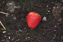"Abandoned Strawberry | 1/1000 sec | f/8.0 | 300.0 mm | ISO 3200<br /><a target=""_blank"" href=""https://www.magezinepublishing.com/equipment/images/equipment/HD-PentaxDA-55300mm-f4563-ED-PLM-WR-RE-6134/highres/pentax_55-300mm_plm_abandoned_strawberry_1492071124.jpg"">High-Res</a>"