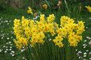 Daffodils | 1/800 sec | f/8.0 | 230.0 mm | ISO 400