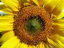 Sunflower | 1/1250 sec | f/3.2 | 5.0 mm | ISO 125