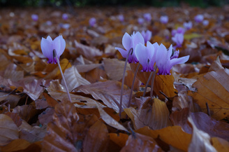 """Cyclamen At Ground Level 