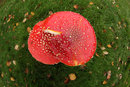 Close Up Fly Agaric | 1/125 sec | f/11 | 8.0 mm | ISO 1600