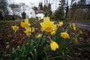 Daffodils | 1/125 sec | 9.0 mm | ISO 100
