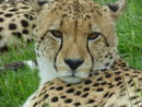 Cheetah | 1/200 sec | f/5.6 | 154.9 mm | ISO 400