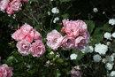 Aging Roses F11 | 1/320 sec | f/11 | 85.0 mm | ISO 200
