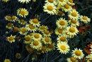 Golden Marguerite F22 | 1/50 sec | f/22 | 85.0 mm | ISO 200