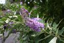 Butterfly Bush | 1/160 sec | 50.0 mm | ISO 400