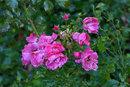 Winter Roses | 1/4 sec | f/16.0 | 135.0 mm | ISO 200