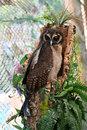 Brown Wood Owl   1/200 sec   f/3.5   85.0 mm   ISO 400