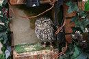 Little Owl   1/160 sec   f/3.5   85.0 mm   ISO 400