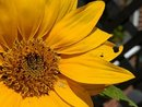 Sunflower | 1/3175 sec | f/1.9 | 5.6 mm | ISO 137