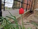 Tulips | 1/505 sec | f/1.8 | 5.6 mm | ISO 50