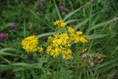 "Common Ragwort | 1/200 sec | f/8.0 | 90.0 mm | ISO 1600<br /><a target=""_blank"" href=""https://www.magezinepublishing.com/equipment/images/equipment/SMC-PFA-2490mm-f3545-AL-303/highres/pentax_fA_24-90mm_common_ragwort_1600249738.jpg"">High-Res</a>"