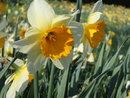 Daffodils | 1/500 sec | f/5.7 | 18.7 mm | ISO 125