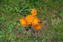 Orange Hawkweed | 1/80 sec | f/8.0 | 18.0 mm | ISO 160