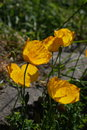 "Yellow Poppies | 1/600 sec | f/8.0 | 41.1 mm | ISO 160 | <a target=""_blank"" href=""https://www.magezinepublishing.com/equipment/images/equipment/XT4-7559/highres/Fujifilm-XT4-Yellow-Poppies-DSCF0067_1590706541.jpg"">High-Res</a>"